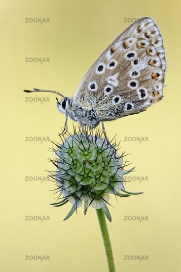 in second generation... Adonis Blue *Polyommatus bellargus*