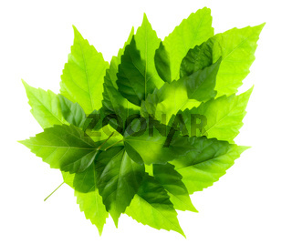 Green leaf from leaves