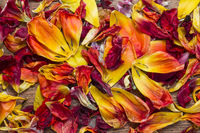 Dispersed tulip petals