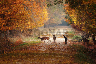 fallow deers in colorful autumn forest ( Dama )