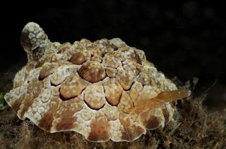 Pleurobranchus forskalii, Forskaliis Flankenkiemer
