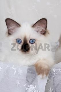 HEILIGE BIRMA KATZE, BIRMAKATZE, SACRED CAT OF BIRMA, BIRMAN CAT, KITTEN, SEALPOINT,
