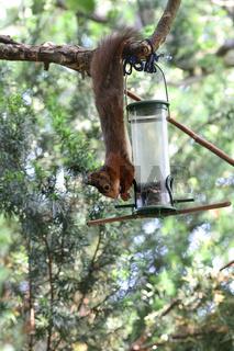 Eichhörnchen am Vogelfutterspender
