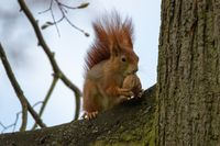 Red Squirrel 36
