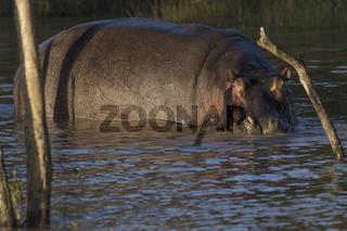 Nilpferd (Hippopotamus amphibius)