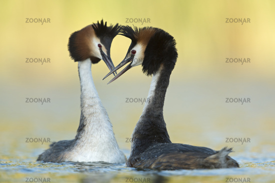 sunshine... Great Crested Grebes *Podiceps cristatus*