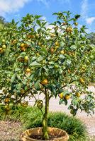 Orange fruit on the tree