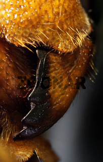 Mandibel Hornisse, Vespa carbro, hornet mandible
