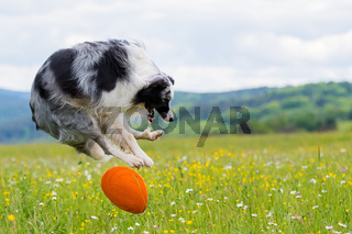 Border Collie mit Frisbee
