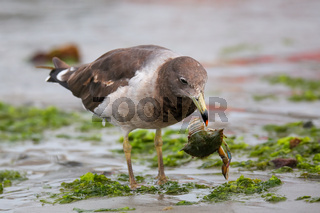 Belcher's Gull eating crab on the beach of Paracas Bay, Peru