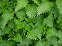 Young plants of stinging nettle