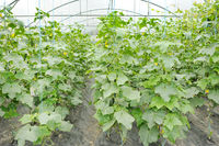 Cucumbers in greenhouses
