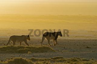 Loewin (Panthera leo), Etosh- Nationalpark, Namibia, Afrika, Lioness, Etosha NP, Africa