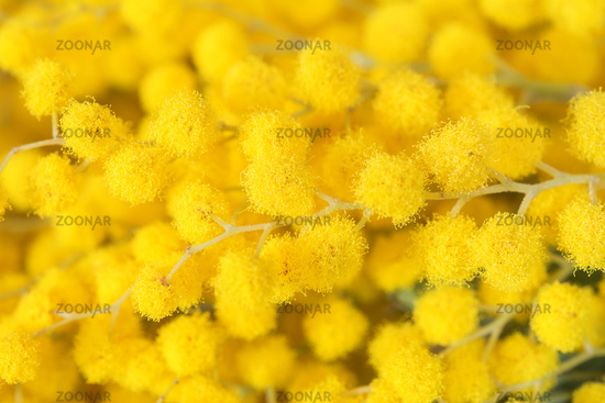 Beautiful mimosa yellow flower blossom. Greeting card template. Shallow depth. Copy space. Spring nature