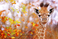 young giraffe with colorful leaves, Kruger NP, South Africa