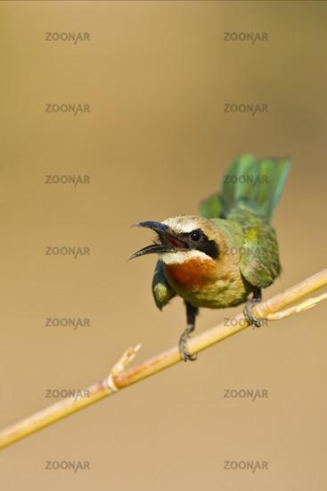 White-fronted Bee-eater, Botswana, Africa