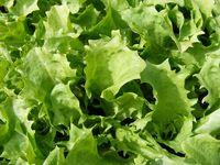 endive Kentucky lettuce