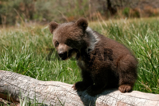 Grizzly bear cub sitting on the log