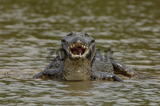 Kaiman, Brillenkaiman, Caiman crocodylus yacare, Pantanal, Brasilien