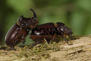 Nashornkaefer, Oryctes nasicornis, European Rhinoceros beetle