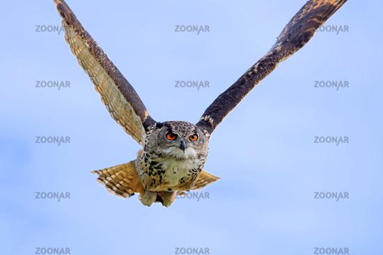 eurasian eagle-owl in flight