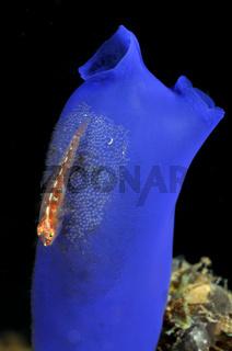 Pleurosicya mossambica, Vielwirt-Zwerggrundel auf blauer Seescheide