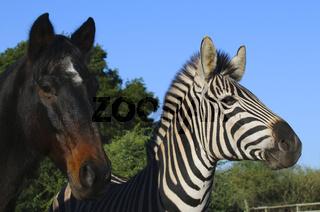 Zebras in Südafrika - Zebras in South Africa