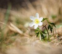 Beautiful little white windflower anemone
