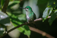 Humming bird in Monteverde National Park Costa rica