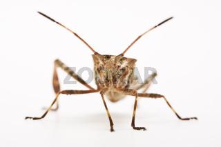 Amerikanische Zapfenwanze (Leptoglossus occidentalis) - Western Conifer Seed Bug (Leptoglossus occidentalis)