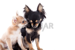 2 chihuahua dogs on white