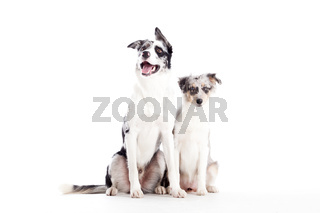 2  blue merle dogs isolated