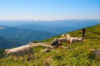 Herd of sheeps