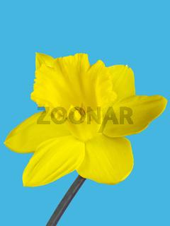 Nahaufnahme der gelbe Blüte einer Osterglocke freigestellt auf hellblauem Hintergrund