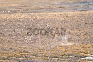 china tibetan antelope