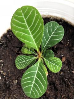 Spuckpalme Euphorbia Leuconeura Madagascar Jewel