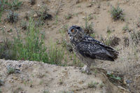 ready for take off... Eurasian Eagle Owl *Bubo bubo* perched on top of a little hill in a sand pit