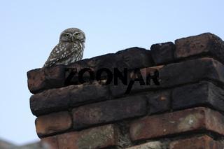 Steinkauz, Athene noctua, Little Owl, Hortobagy, Ungarn, Hungary