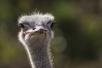 Austrich (Struthio camelus)