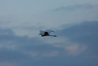 Great White Egret (Casmerodius albus) in flight against the sky