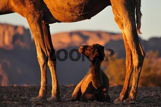 Kamelfohlen im Schutz der Mutter