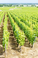 grand cru vineyard near Fixin, Cote de Nuits, Burgundy, France