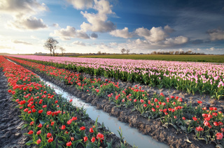 colorful tulip field in Holland