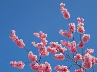 Colorful pink spring tree blossom against a blue s