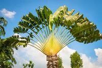 Traveller's tree or traveller's palm crown