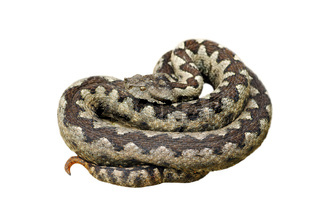 dangerous nose horned adder