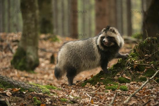 attentive... Raccoon dog *Nyctereutes procyonoides*