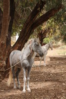 horse tied on a tree