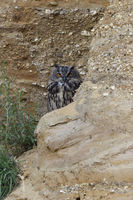 watching carefully... Eurasian Eagle Owl *Bubo bubo*, sitting, hiding behind a rock