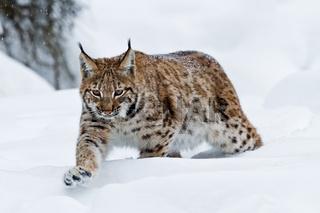 Karpaten-Luchs (Lynx lynx carpathicus)